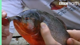 Fishing for Red Bellied Piranha   Ultimate Killers   BBC