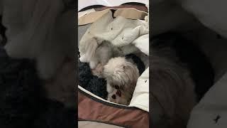 Aussie Poo Puppies Videos