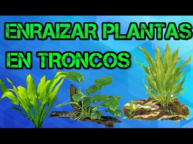 COMO ENRAIZAR PLANTAS ACUÁTICAS EN TRONCOS