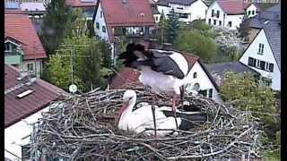 preview picture of video 'Störche in Markt Schwaben, 2 Küken sind geschlüpft,2013-05-07'