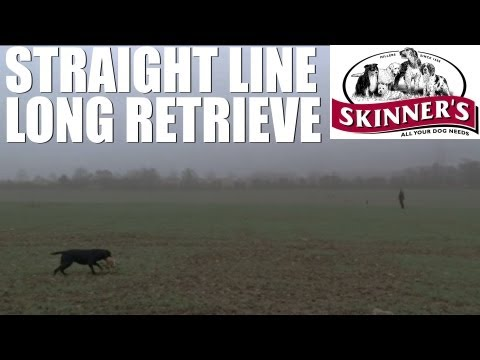 Gundog training tips – straight line long retrieve