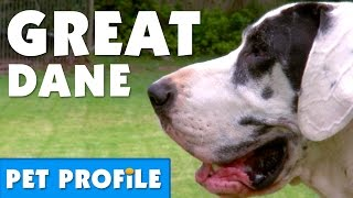 Great Dane Pet Profile | Bondi Vet