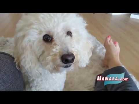 Dog Functional Poodle Time with Hanala Sagal, Comedian/Screenwriter (Elvis & Nixon, Comedy Wellness)