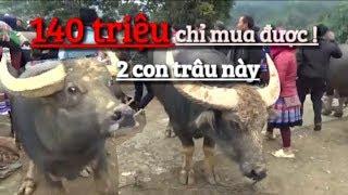 Hỏi thử Giá | TRÂU CHỌI | tại chợ trâu Bắc Hà - Lào Cai .big buffalo