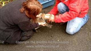 preview picture of video 'Fox cub with his head stuck in a tin can - rescue release!'