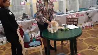 """Клуб Любителей Кошек """"Ирбис"""" Международная выставка 28-29 ноября Кривой Рог."""