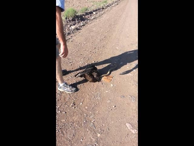 مزارع ينقذ صقراً من ثعبان التف على رقبته