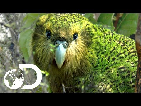 Meet the Strangest Parrot in the World