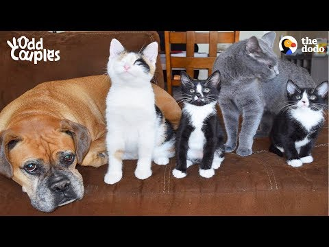 Dog And Cat Help Raise Foster Kittens Together | The Dodo Odd Couples