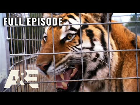 Shipping Wars: Full Episode - A Tiger Chase and a Tight Place (Season 7, Episode 15) | A&E