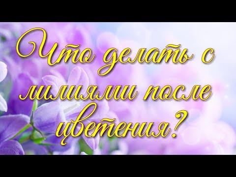 Что Делать с Лилиями После Цветения / Elena Pero