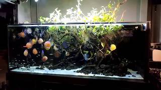 Very Nice Discus Collection And Huge Tank. Thanks Minh Cuong Van