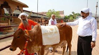 Gau-Daan Yagya at Kamdhenu Gaushala, Divya Dham Ashram | Divya Jyoti Jagrati Sansthan