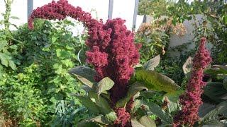 Gartenfreuden: Amaranth - in Deutschland angebaut