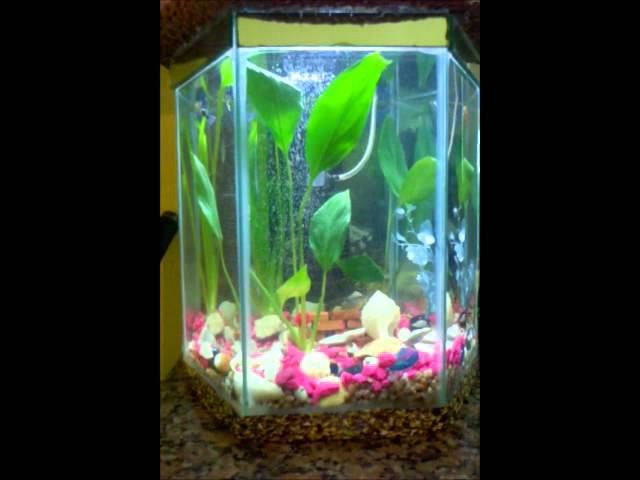 acuario lebistes