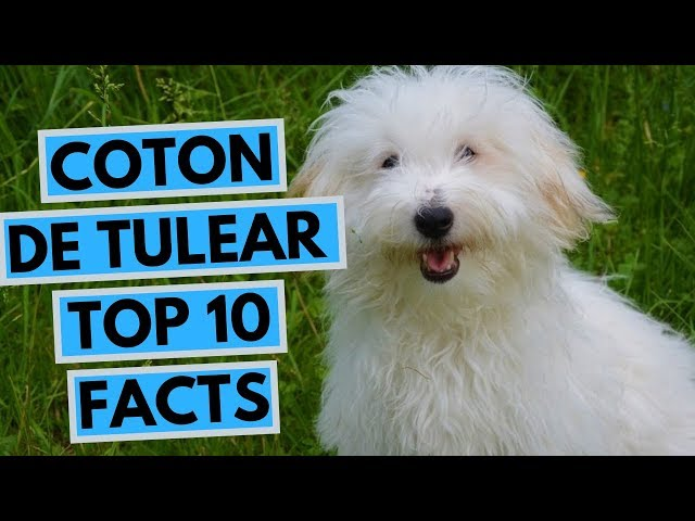 Výslovnost videa coton de tulear v Anglický