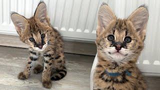 ЗАВЕЛА СЕРВАЛА / Чудо кот осваивается