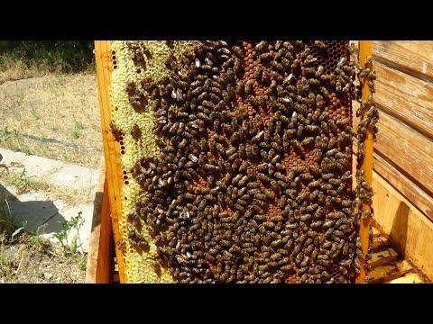 Состояние пчелы в июне на апиулье