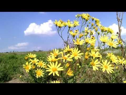 Крестовник Якуба. Желтые полевые цветы
