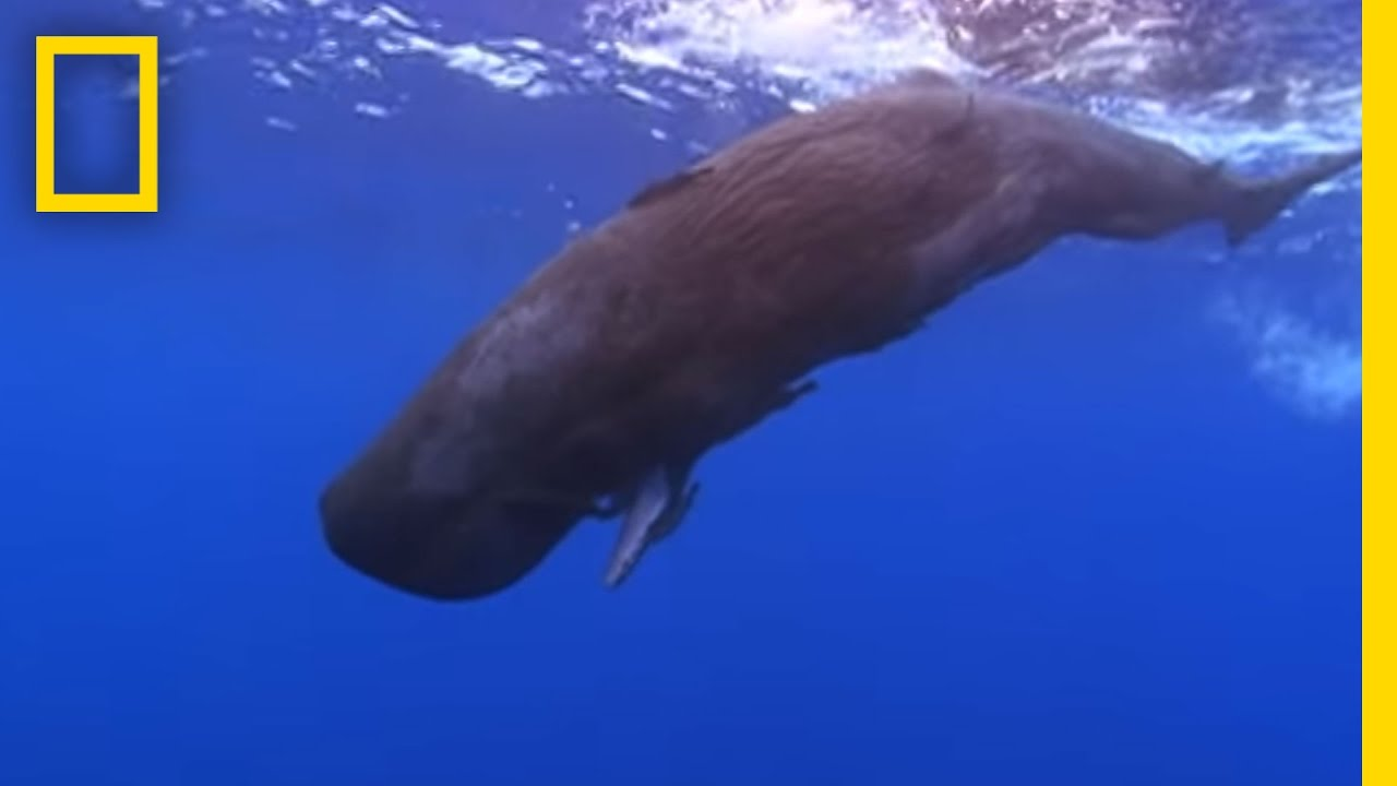 Baby Sperm Whale Swims on Its Own | National Geographic thumbnail