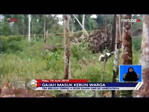 Masuk ke Kebun Warga di Riau, Kawanan Gajah Digiring Tim BBKSDA ke Habitatnya - BIS 17/06
