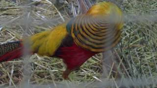 Red golden's pheasant mating dance