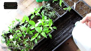 Seed Starting Tomatoes & Peppers Indoors: Why, When & How, Cell Size,  Fertilizing & More Explained