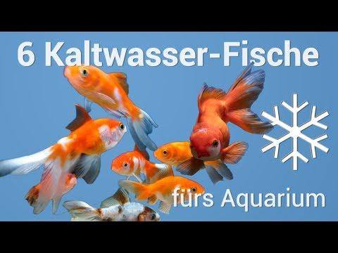 6 Fische fürs Kaltwasseraquarium ❄🌊