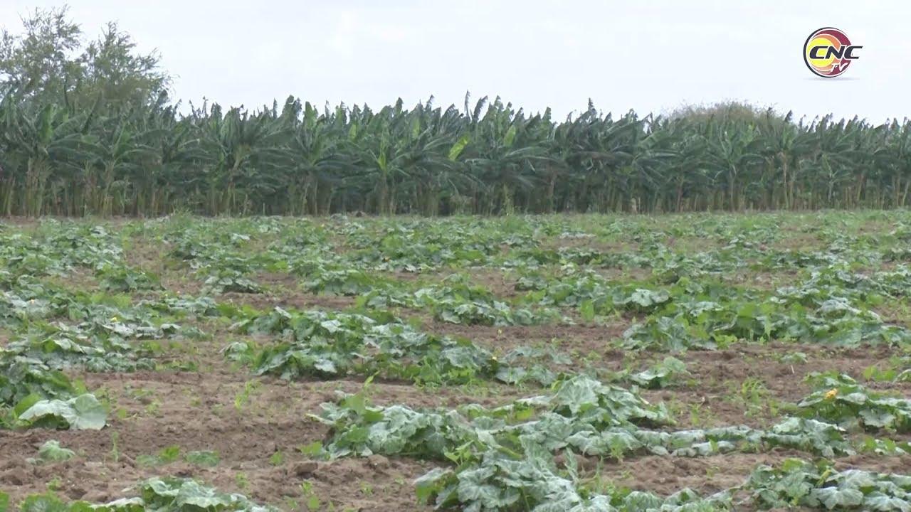 Bloqueo causa serias afectaciones al sector agrícola en Granma