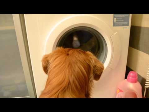 Watch Amazing Dog 'Champis' Help Owner Do Her Laundry