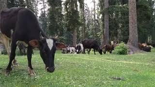 Cows eating grass at DoodhPathri, Kashmir