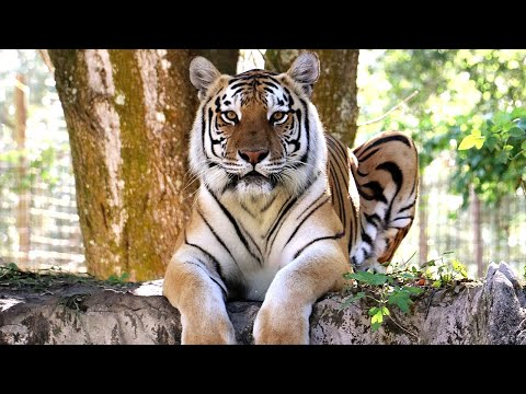 BIG Tiger With A BIG Personality