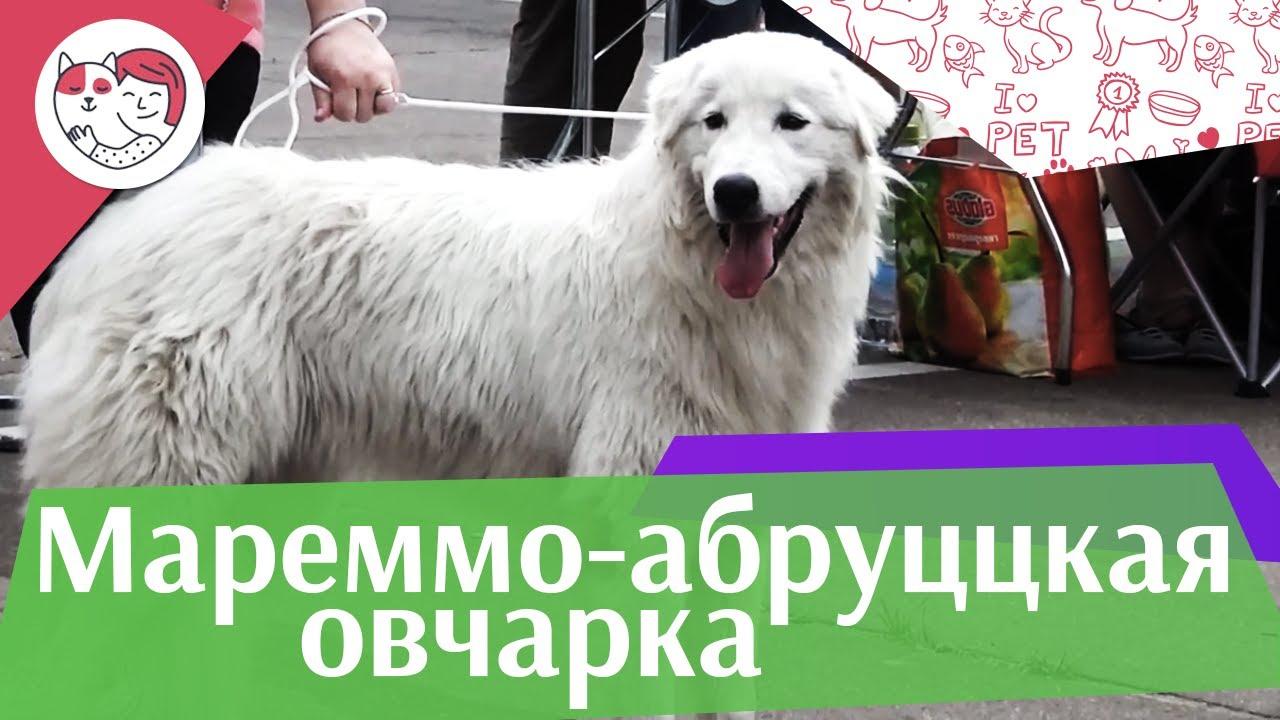 Маремма-абруццкая овчарка на ilikepet. Особенности породы, уход