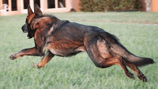 Important Tips on GSD Care   How to care for German Shepherd