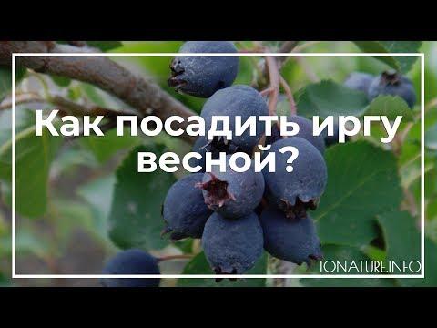 Как посадить иргу весной? | toNature.Info