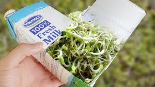 using-a-milk-carton-to-grow-bean-sprouts-at-home-amazing-life-hacks