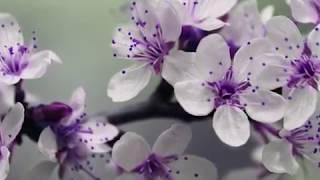 Loài Hoa Không vỡ ̣ Thu Hương