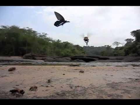 アルクメノールアゲハの飛翔