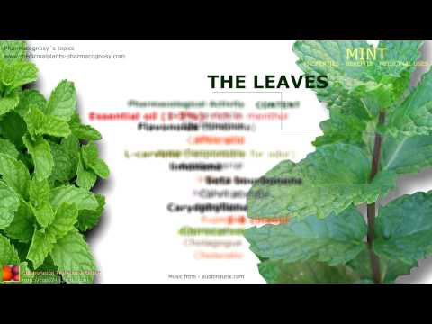 Video Mint benefits. Medicinal properties of mint plant. Leaves. Spearmint.