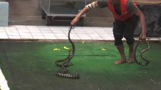 The Cobra Show Thailand Video