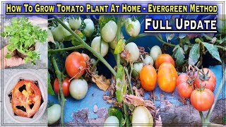 How To Grow Tomatoes from Tomatoes in a container (Easiest Method Forever - From Seed To Harvest)