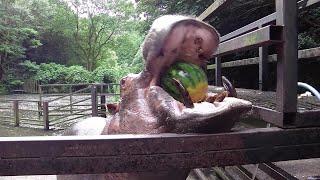 Hippo devours watermelon ASMR