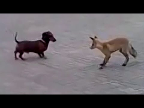 Fox Vs Dog. Fox And Dachshund