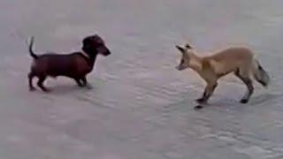 Fox Vs Dog. Fox And Dachshund