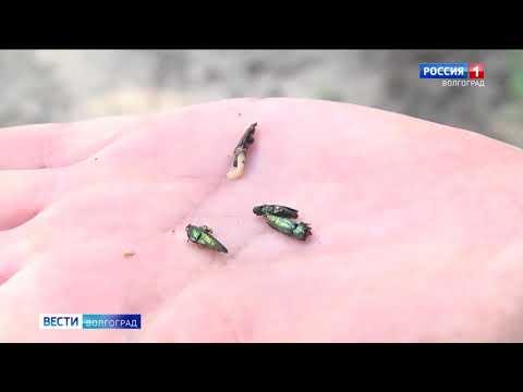 В Волгоградской области Управлением Россельхознадзора проведены обследования усыхающих ясеневых насаждений