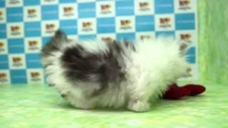 きくちペット子犬子猫№15267マンチカンスーパー短足タイプ