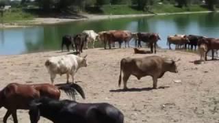Коровы, быки,лошади, жеребята на  озере летом