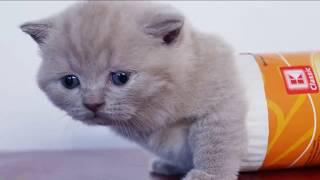 Смешные британские котята в коробках и пакетах - приколы с котами - коты и кошки 2019