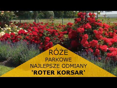Róża parkowa 'ROTER KORSAR'®