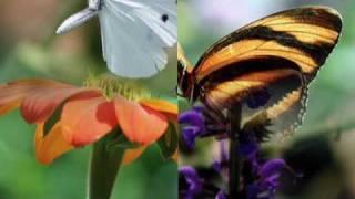 Butterflies - Mozart - Horn Concerto No.4